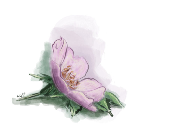 Šípková růže - vektorová kresba vAffinity Designer